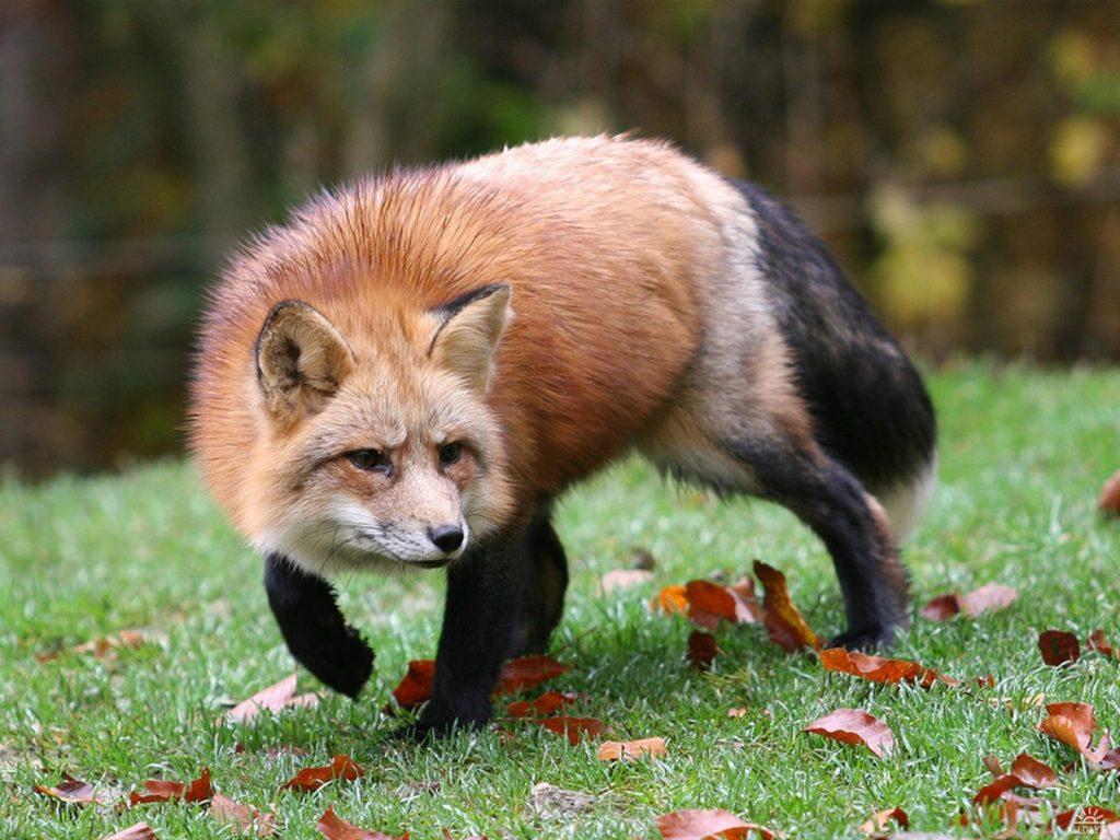 Географическая изменчивость лисы