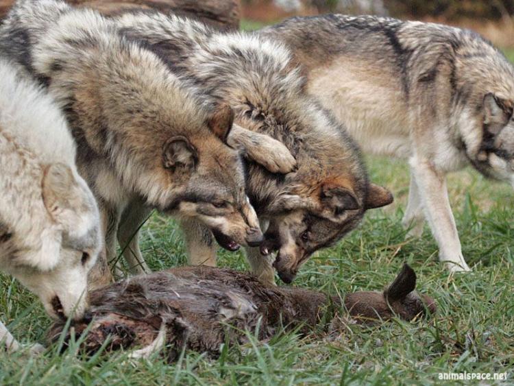 Питание волка