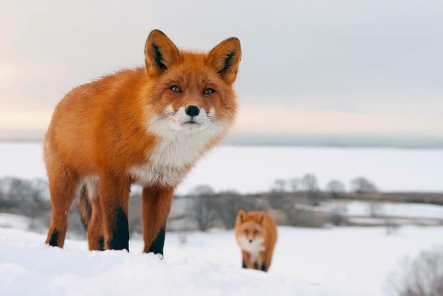 Движение численности лисиц