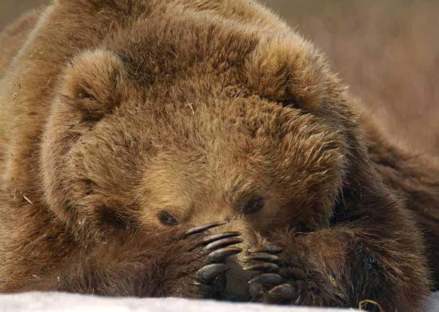 Спячка, зимний сон бурого медведя