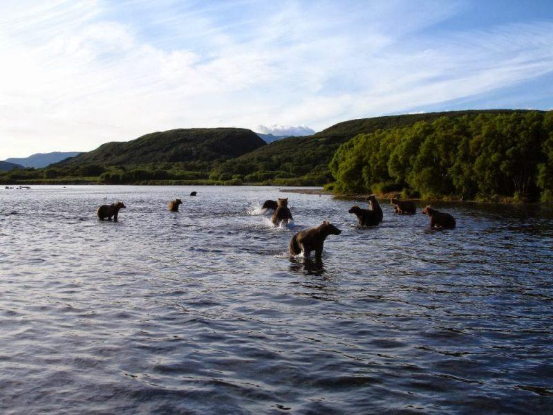 Численность бурого медведя