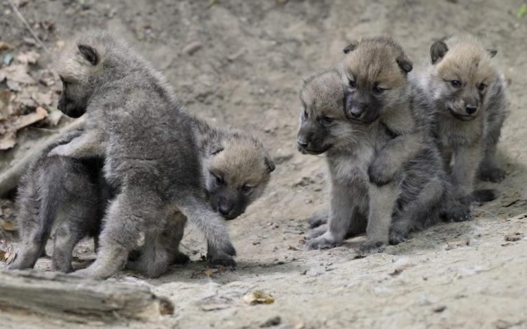 Размножение волка