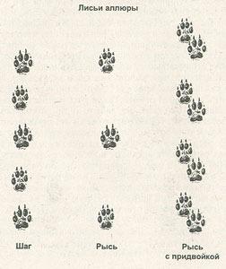 Признаки и следы лисы