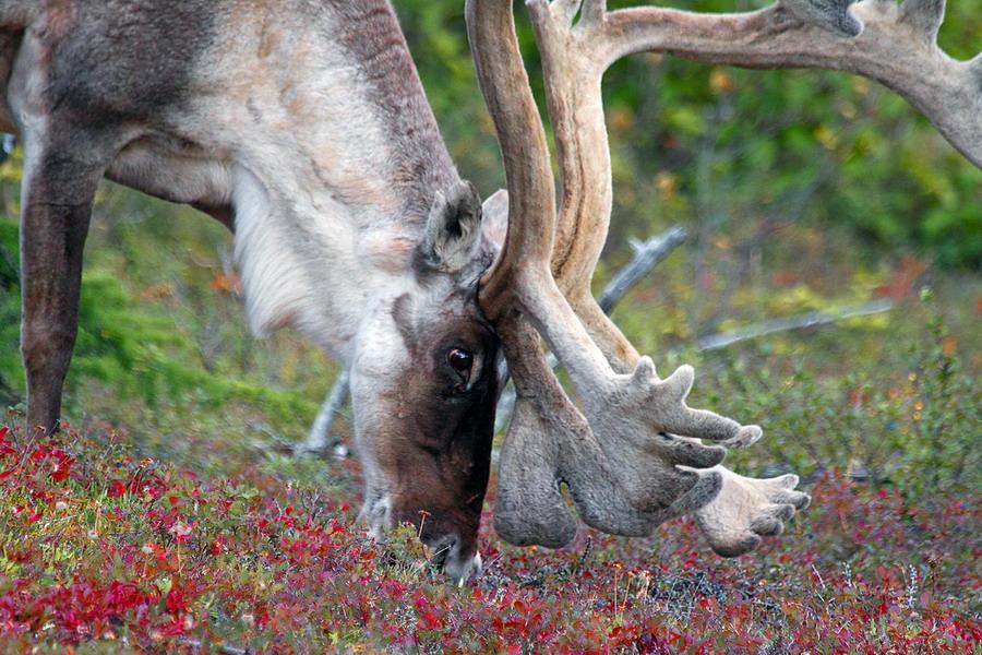 Питание северного оленя