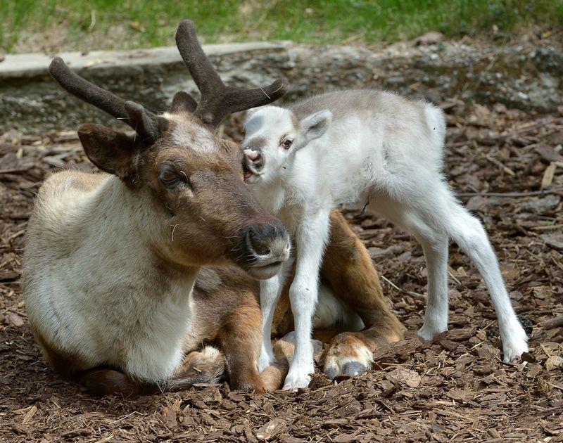 Размножение северного оленя