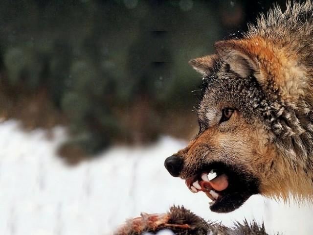Места обитания волка