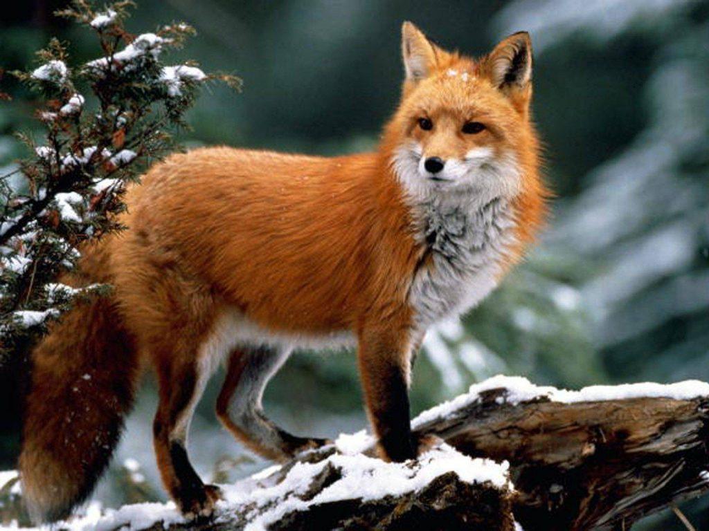Описание лисы