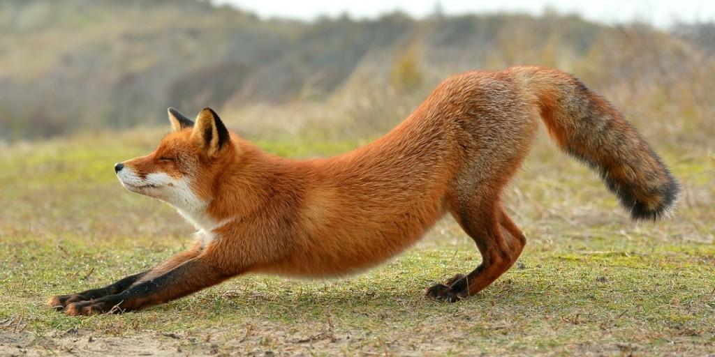 Ареал лисы