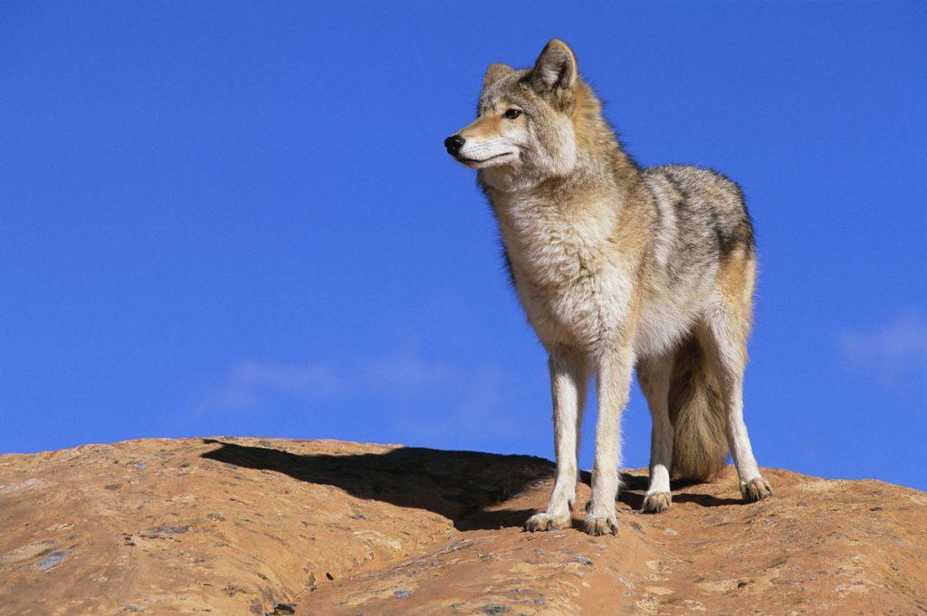 Пустынный волк