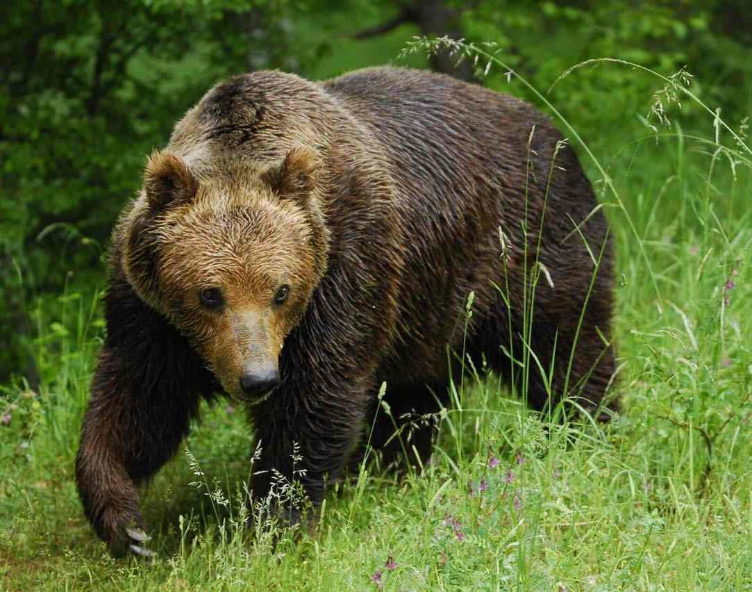 Средне-русский медведь