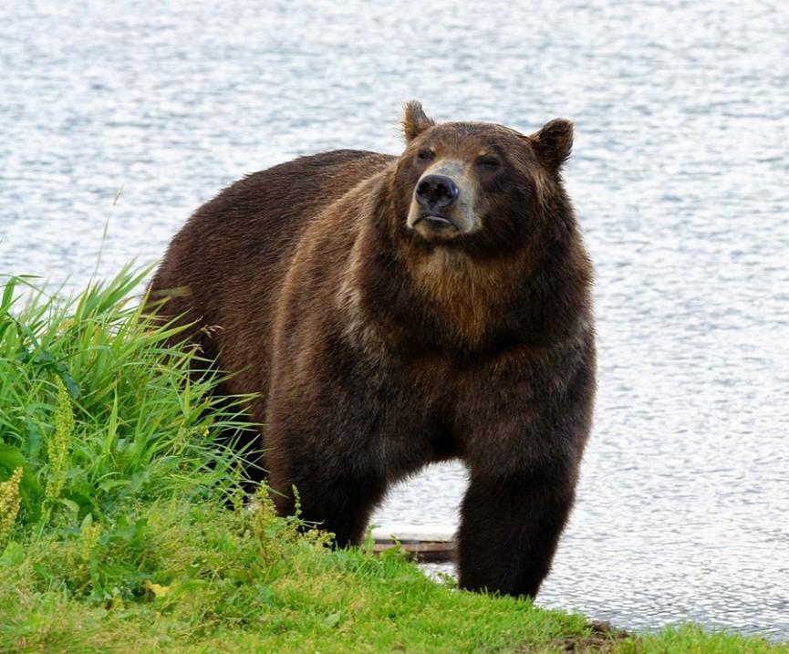 Камчатский медведь