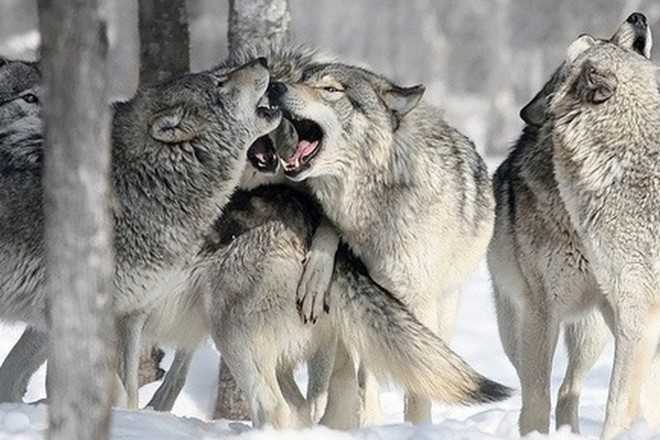 Численность волков