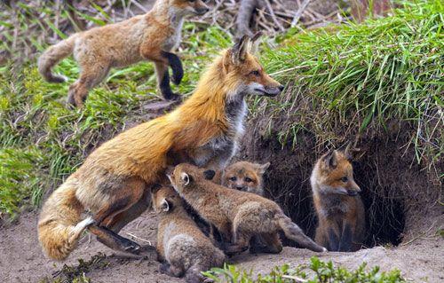 Участок обитания лисицы