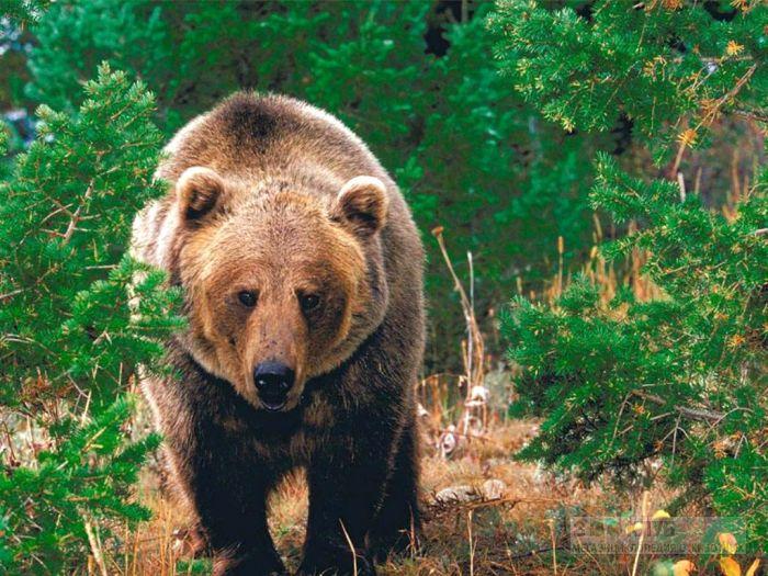 Суточная активность и поведение бурого медведя