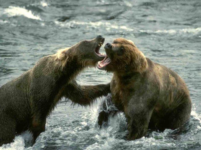 Ареал бурого медведя