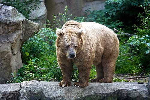 Тяньшанский медведь