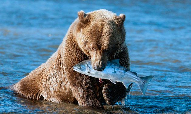 Питание бурого медведя