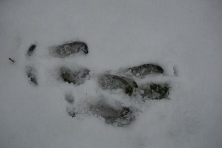 Полевые признаки северного оленя