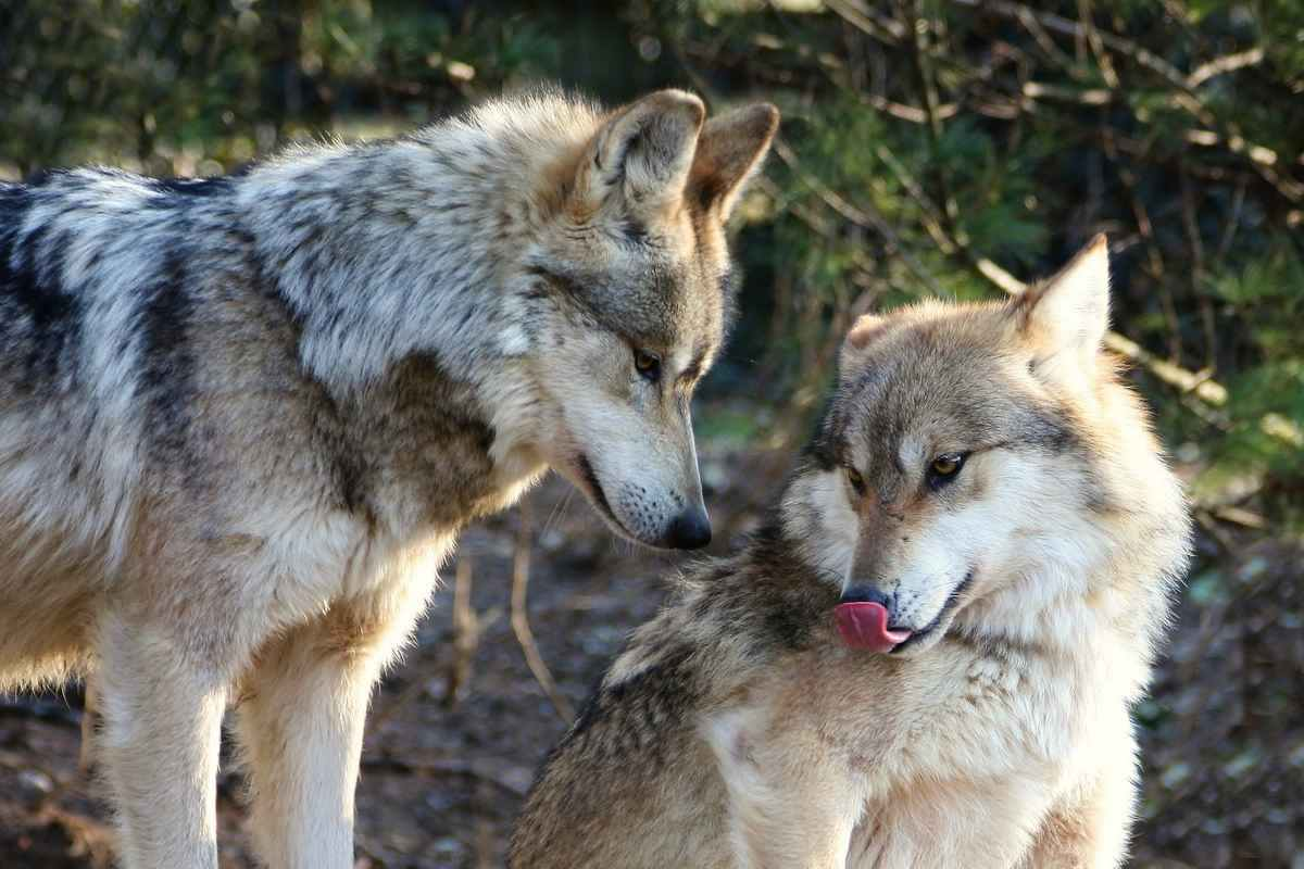 Миграции волка