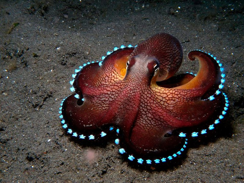Осьминоги родом с другой планеты