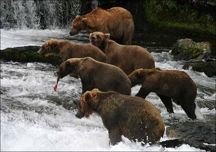 Рост, развитие и линька бурого медведя
