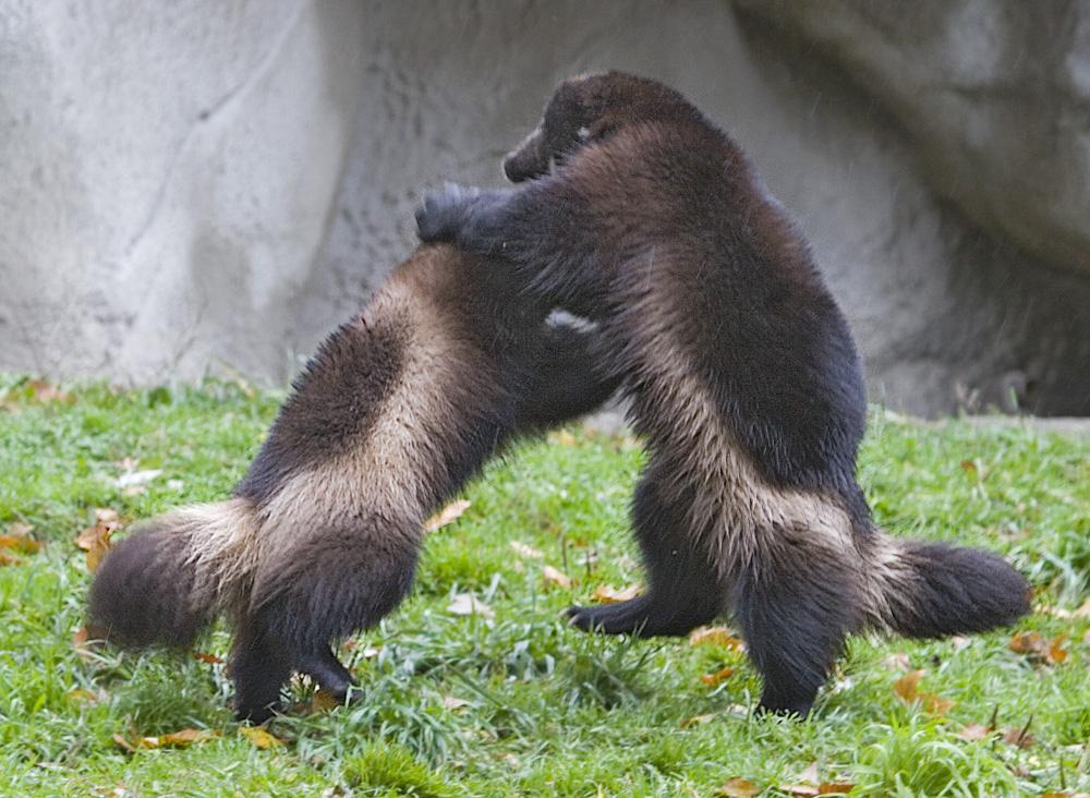 Суточная активность и поведение росомахи