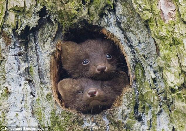 Норы и убежища лесной куницы