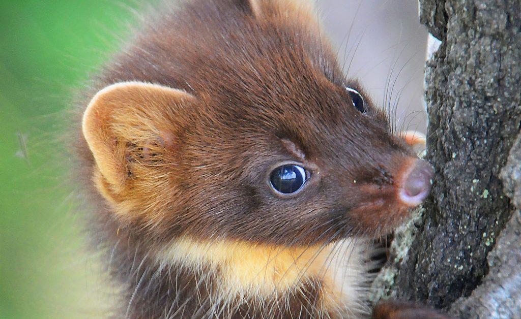 Суточная активность и поведение лесной куницы