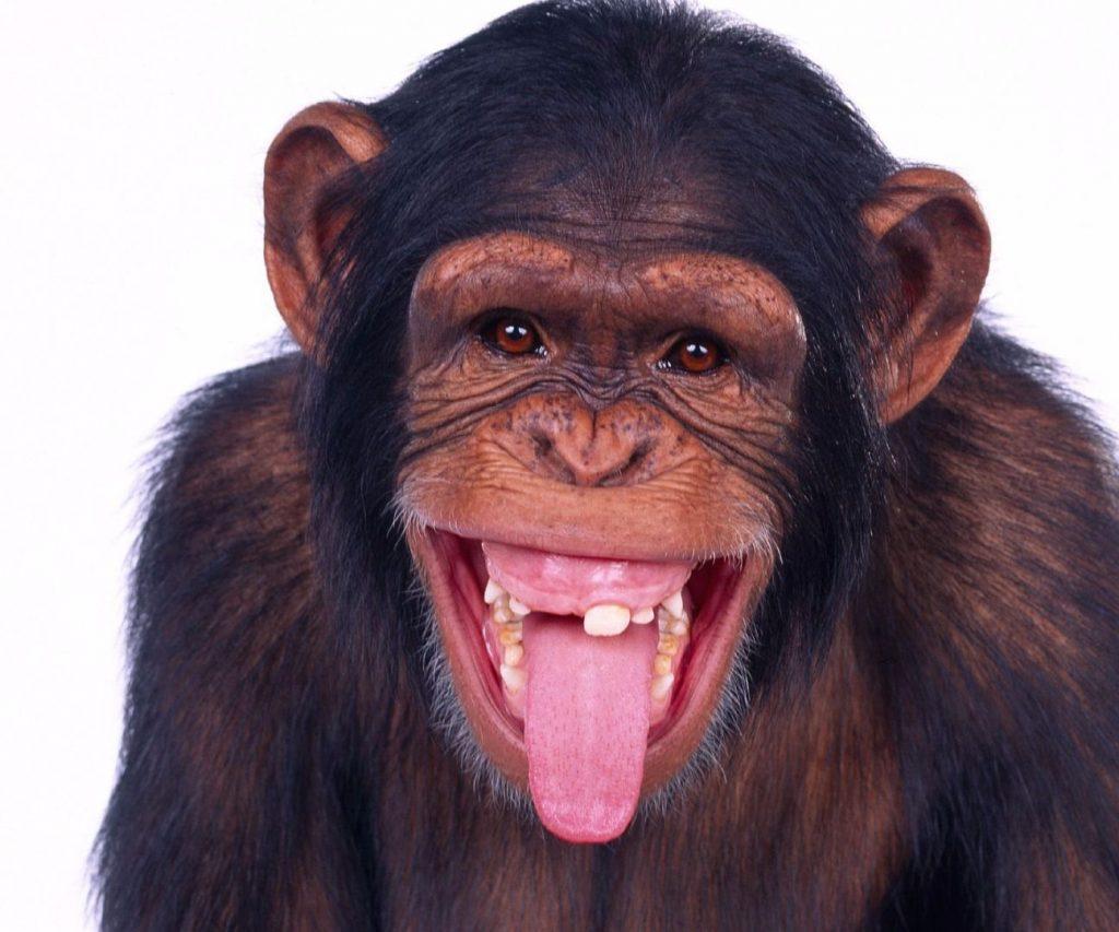 Почему обезьяны не умеют говорить?