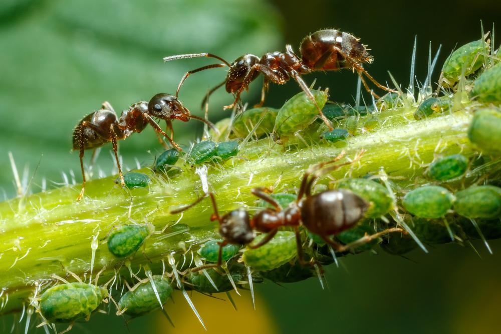 Муравьи-фермеры. Как муравьи выращивают себе корм