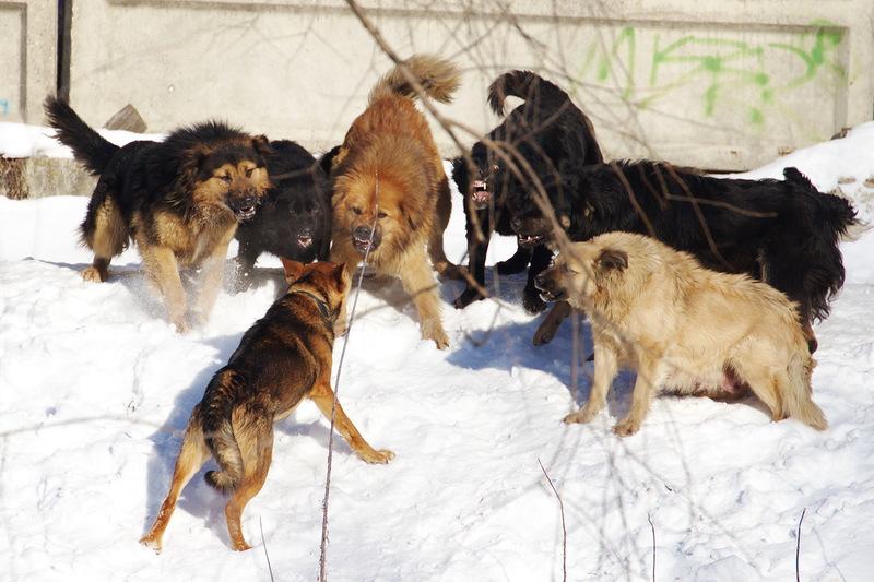 Собачья цивилизация. Иерархия и законы в собачьей стае