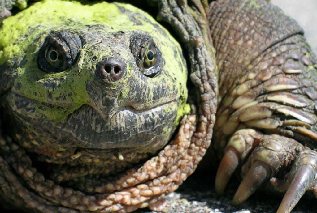 Кусающаяся черепаха