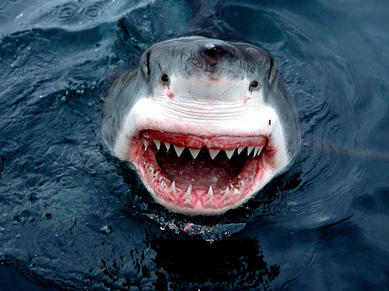 Удивительные органы чувств белой акулы