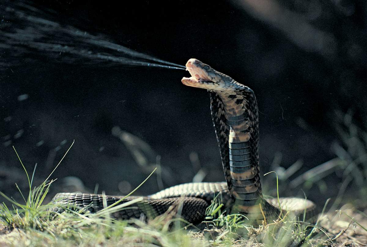 Коричневая плюющаяся кобра