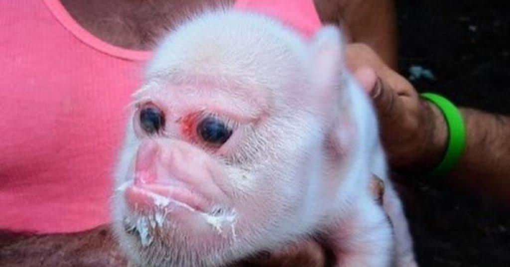 Поросенок с мордой обезьяны