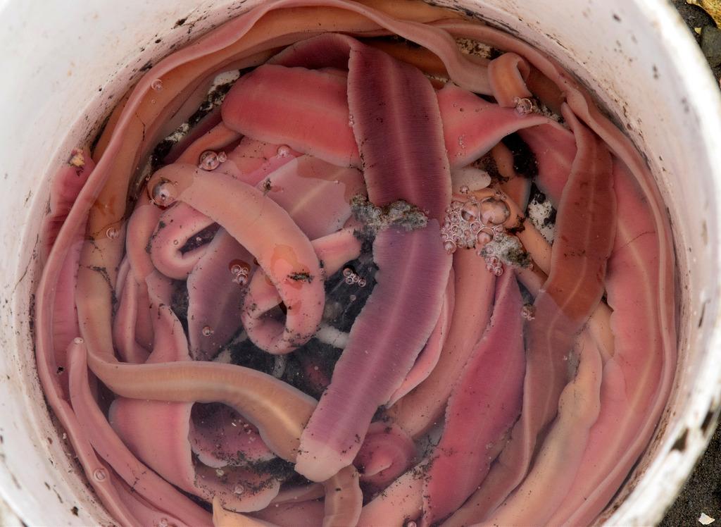 Ученые обнаружили 60 метрового червя