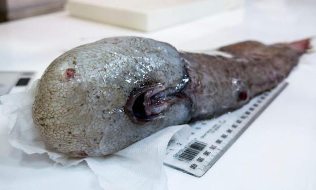 У берегов Австралии выловили рыбу «без лица»