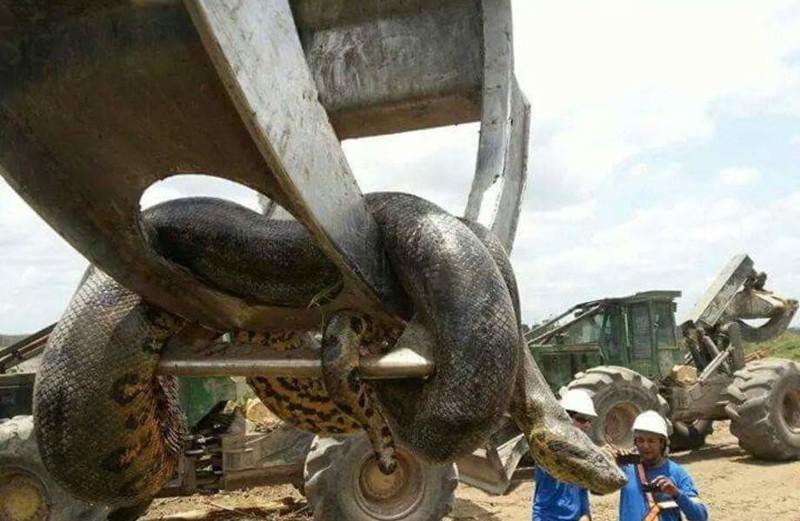 В Бразилии убили 10-метровую анаконду-монстра