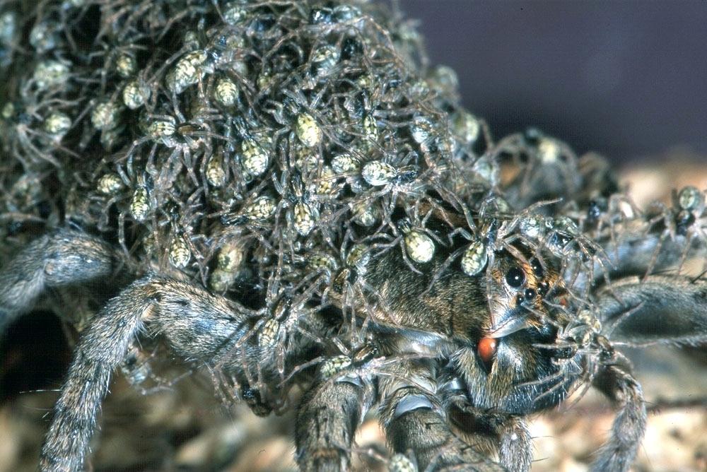 """Ученые обнаружили """"млекопитающих"""" пауков"""