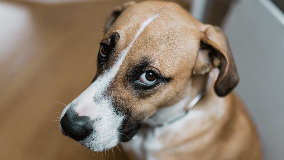 У собак появилась мышца предназначенная только для воздействия на людей