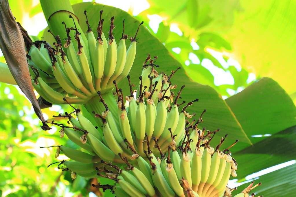 Мы останемся без бананов...