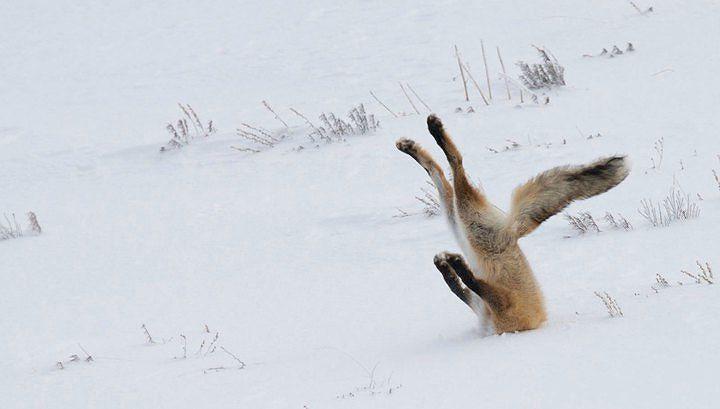 Зимние сложности. Снежный покров вынуждает животных поменять свои привычки