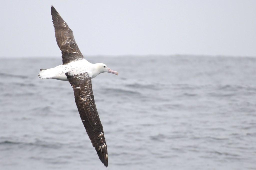 150 альбатросов с радиомаячками будут выслеживать браконьерские суда в Южном океане