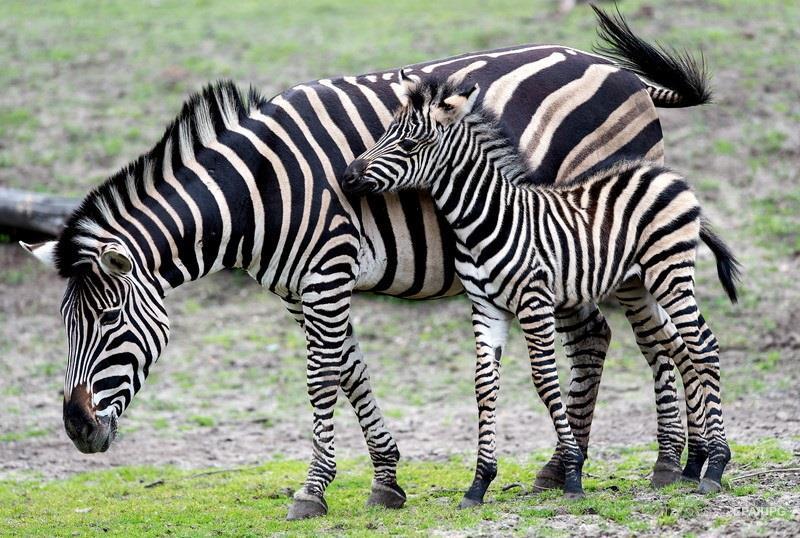 Какая муха укусила зебру?