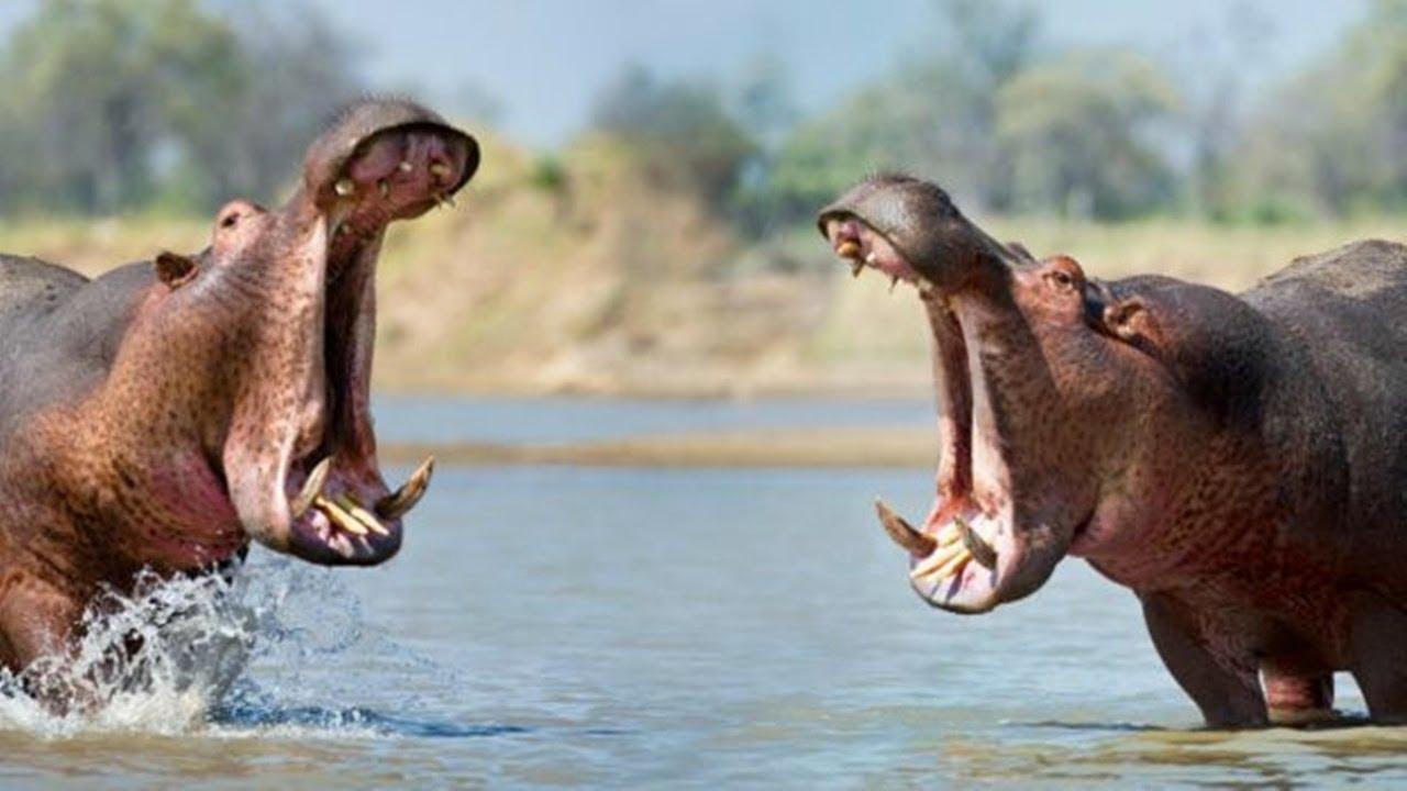 Все о бегемотах: подробно о жизни этих удивительных животных